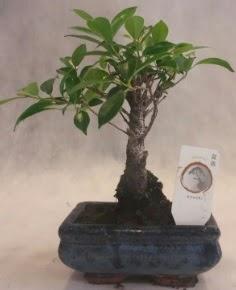 Bonsai ağacı japon ağaç bitkisi  Gaziantep cicekciler , cicek siparisi