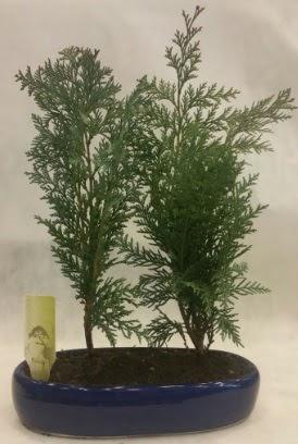 SINIRLI SAYIDA Selvi Ağacı bonsai ikili  Gaziantep 14 şubat sevgililer günü çiçek