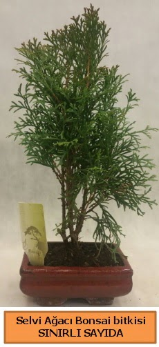 Selvi ağacı bonsai japon ağacı bitkisi  Gaziantep anneler günü çiçek yolla