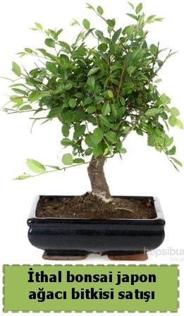 İthal bonsai saksı çiçeği Japon ağacı satışı  Gaziantep online çiçek gönderme sipariş