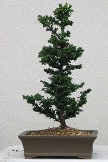 Çam ağacı bonsai bitkisi satışı  Gaziantep 14 şubat sevgililer günü çiçek