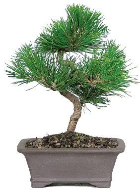 Çam ağacı bonsai japon ağacı bitkisi  Gaziantep uluslararası çiçek gönderme