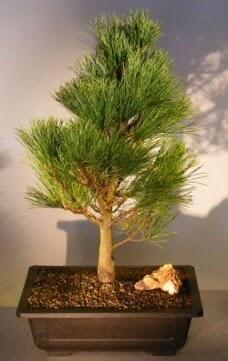 Çam ağacı japon ağacı bitkisi bonsai  Gaziantep 14 şubat sevgililer günü çiçek