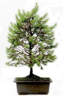 *** STOKTA YOK - Çam ağacı bonsai bitkisi satışı  Gaziantep çiçek yolla