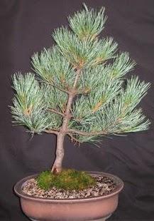 Bonsai çam ağacı japon ağacı bitkisi  Gaziantep kaliteli taze ve ucuz çiçekler