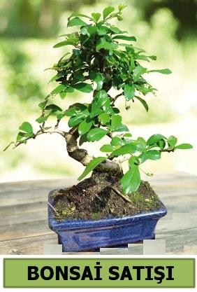 Çam bonsai japon ağacı satışı  Gaziantep anneler günü çiçek yolla
