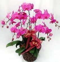 Sepet içerisinde 5 dallı lila orkide  Gaziantep çiçek online çiçek siparişi