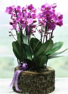 Kütük içerisinde 6 dallı mor orkide  Gaziantep çiçek online çiçek siparişi