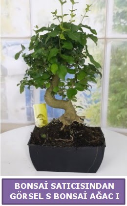 S dal eğriliği bonsai japon ağacı  Gaziantep anneler günü çiçek yolla