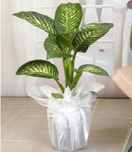 Tropik saksı çiçeği bitkisi  Gaziantep anneler günü çiçek yolla
