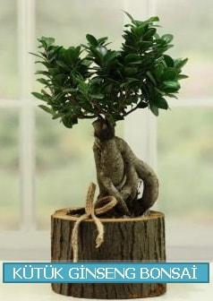 Kütük ağaç içerisinde ginseng bonsai  Gaziantep cicek , cicekci