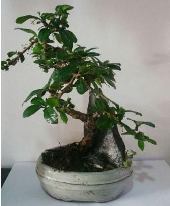 S şeklinde ithal bonsai ağacı  Gaziantep cicekciler , cicek siparisi