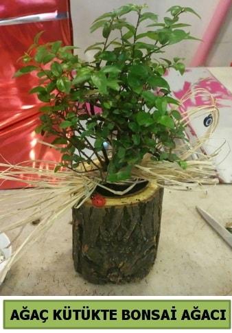 Doğal ağaç kütük içerisinde bonsai ağacı  Gaziantep cicek , cicekci