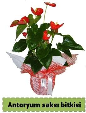 Antoryum saksı bitkisi satışı  Gaziantep hediye sevgilime hediye çiçek