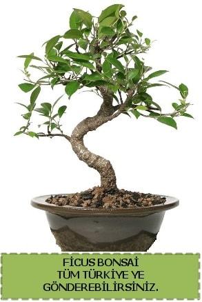 Ficus bonsai  Gaziantep cicek , cicekci