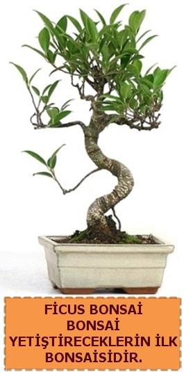 Ficus bonsai 15 ile 25 cm arasındadır  Gaziantep cicekciler , cicek siparisi
