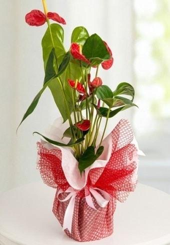 Anthurium Saksı Çiçeği  Gaziantep çiçek servisi , çiçekçi adresleri