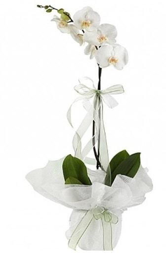 Tekli Beyaz Orkide  Gaziantep çiçek servisi , çiçekçi adresleri