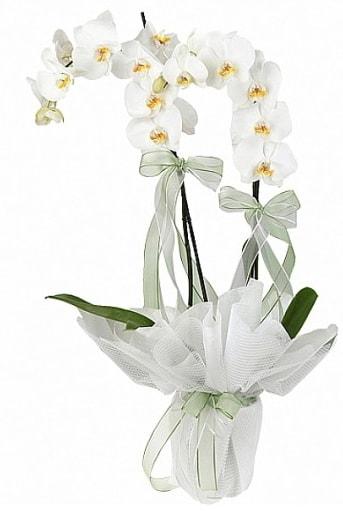 Çift Dallı Beyaz Orkide  Gaziantep çiçek satışı