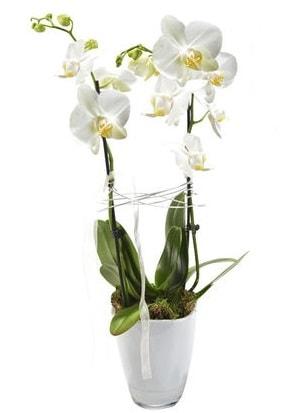 2 dallı beyaz seramik beyaz orkide saksısı  Gaziantep cicek , cicekci