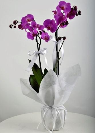 Çift dallı saksıda mor orkide çiçeği  Gaziantep çiçek yolla , çiçek gönder , çiçekçi