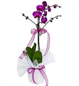 Tek dallı saksıda ithal mor orkide çiçeği  Gaziantep yurtiçi ve yurtdışı çiçek siparişi