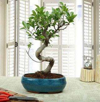 Amazing Bonsai Ficus S İthal  Gaziantep online çiçekçi , çiçek siparişi