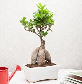 Exotic Ficus Bonsai ginseng  Gaziantep hediye çiçek yolla