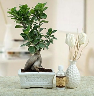 Ginseng ficus bonsai  Gaziantep yurtiçi ve yurtdışı çiçek siparişi