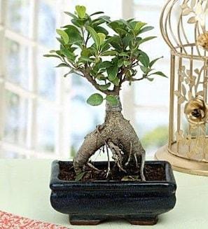 Appealing Ficus Ginseng Bonsai  Gaziantep çiçek satışı