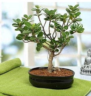 Lovely Ficus Iceland Bonsai  Gaziantep çiçek satışı