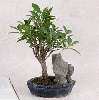 Japon ağacı Evergreen Ficus Bonsai  Gaziantep cicek , cicekci