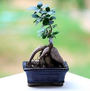 Marvellous Ficus Microcarpa ginseng bonsai  Gaziantep çiçek yolla , çiçek gönder , çiçekçi