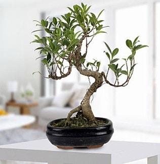 Gorgeous Ficus S shaped japon bonsai  Gaziantep çiçekçiler