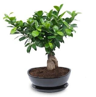 Ginseng bonsai ağacı özel ithal ürün  Gaziantep güvenli kaliteli hızlı çiçek