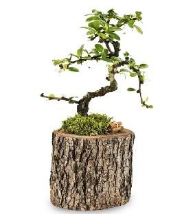 Doğal kütükte S bonsai ağacı  Gaziantep anneler günü çiçek yolla