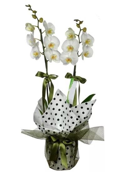 Çift Dallı Beyaz Orkide  Gaziantep çiçekçi telefonları