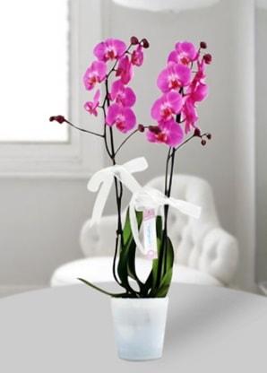 Çift dallı mor orkide  Gaziantep yurtiçi ve yurtdışı çiçek siparişi