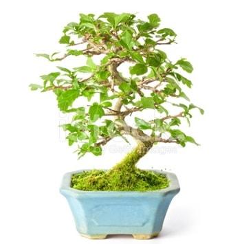 S zerkova bonsai kısa süreliğine  Gaziantep online çiçek gönderme sipariş