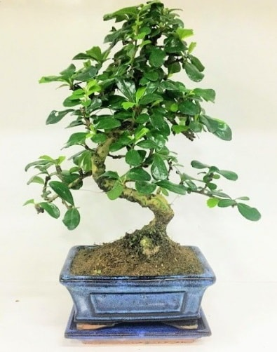 S Bonsai japon ağacı bitkisi  Gaziantep çiçek gönderme