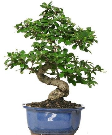 21 ile 25 cm arası özel S bonsai japon ağacı  Gaziantep 14 şubat sevgililer günü çiçek