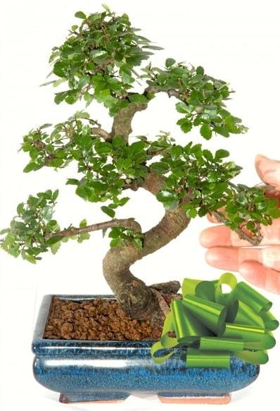 Yaklaşık 25 cm boyutlarında S bonsai  Gaziantep kaliteli taze ve ucuz çiçekler