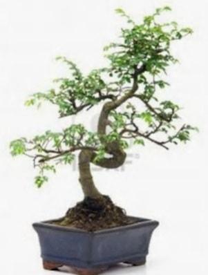 S gövde bonsai minyatür ağaç japon ağacı  Gaziantep anneler günü çiçek yolla