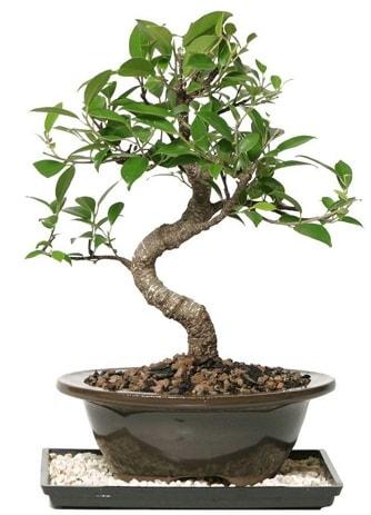 Altın kalite Ficus S bonsai  Gaziantep 14 şubat sevgililer günü çiçek  Süper Kalite