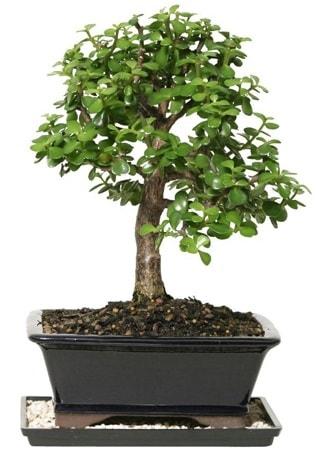 15 cm civarı Zerkova bonsai bitkisi  Gaziantep kaliteli taze ve ucuz çiçekler