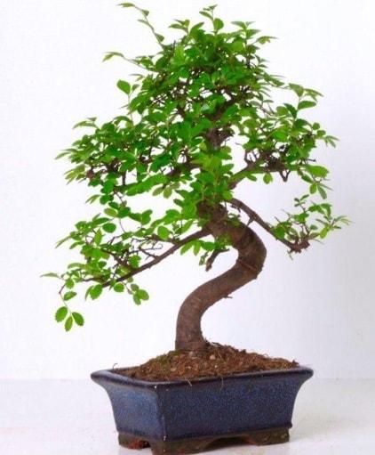 S gövdeli bonsai minyatür ağaç japon ağacı  Gaziantep cicek , cicekci
