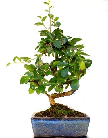 S gövdeli carmina bonsai ağacı  Gaziantep cicekciler , cicek siparisi  Minyatür ağaç