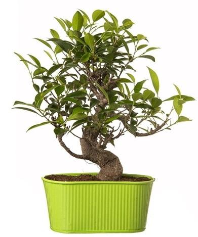 Ficus S gövdeli muhteşem bonsai  Gaziantep kaliteli taze ve ucuz çiçekler