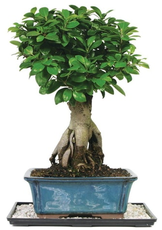 Bonsai Ginsing Grafted Ficus Bonsai  Gaziantep cicekciler , cicek siparisi