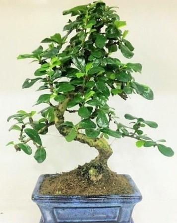 Zelkova S gövdeli Minyatür ağaç Bonzai  Gaziantep uluslararası çiçek gönderme